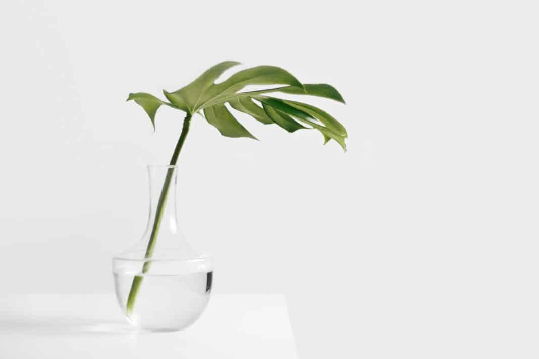 Philodendron plant growing in water
