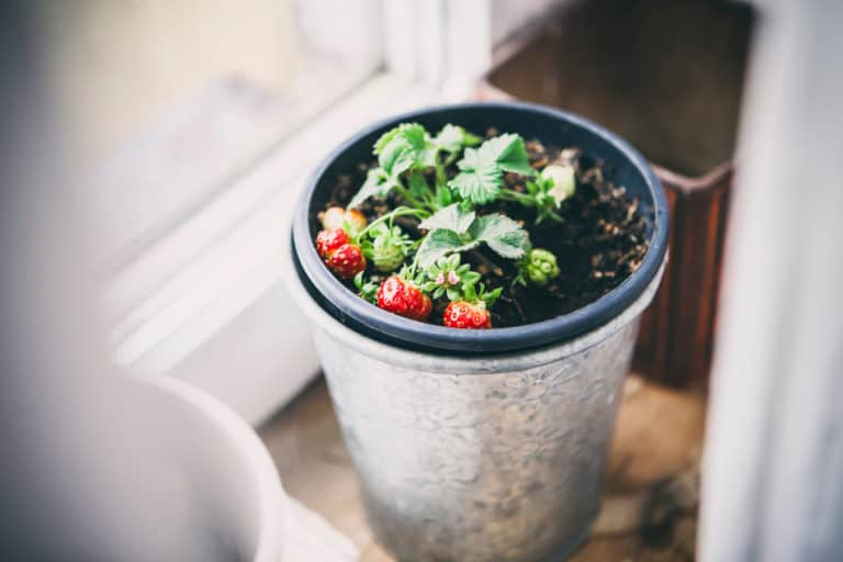 How To Grow Your Own Strawberries Indoors (Yep, It Can Be Done!)