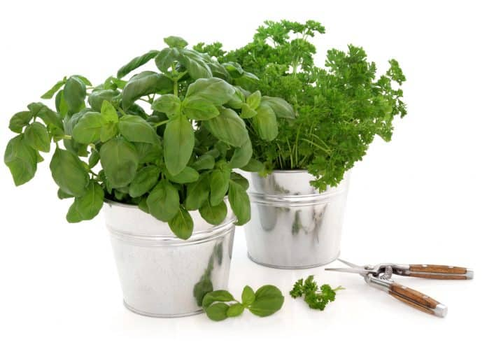 when to prune basil for the first time - pruning basil in kitchen