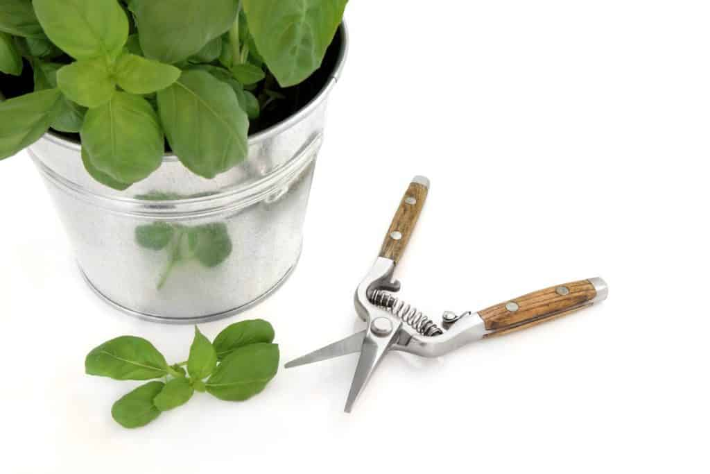when to prune basil for the first time - pruning shears and pot of basil