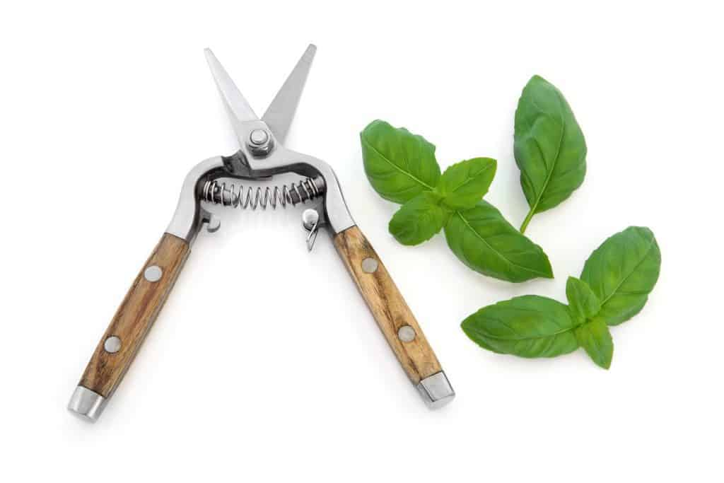 pruning shears and basil