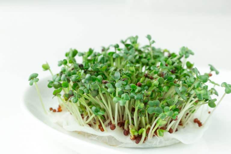 How to Grow Microgreens Without Soil – Go Hydroponic!