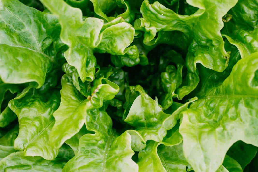 Buttercrunch lettuce close up shot