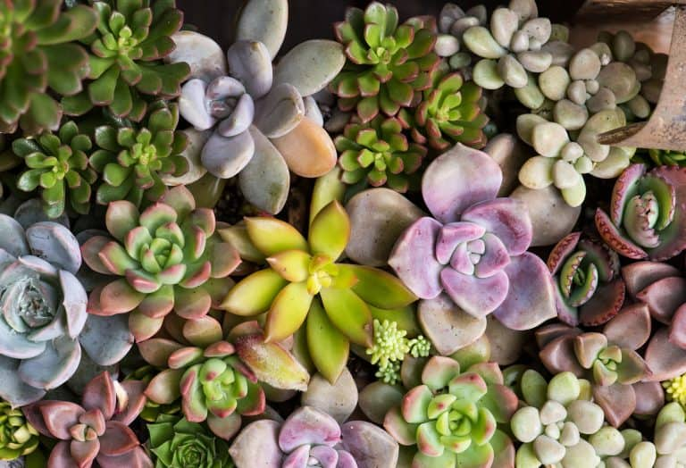 How Much Cold Can Succulents Tolerate?