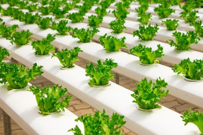 Aeroponics vs. Hydroponics vs. Aquaponics – What's the Difference?