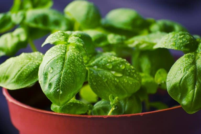 What is the Best Way to Keep Basil Fresh?